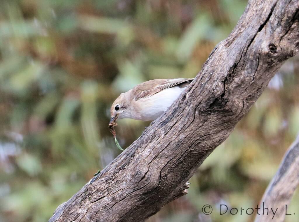 Juvenile Red-capped Robin (Petroica goodenovii)
