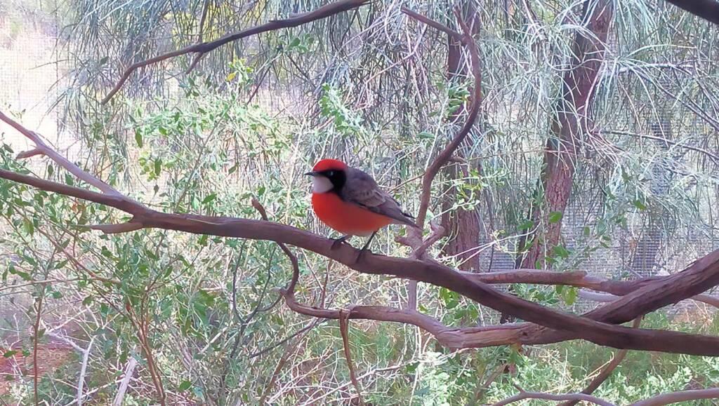 Red-capped Robin (Petroica goodenovii), Alice Springs Desert Park, NT