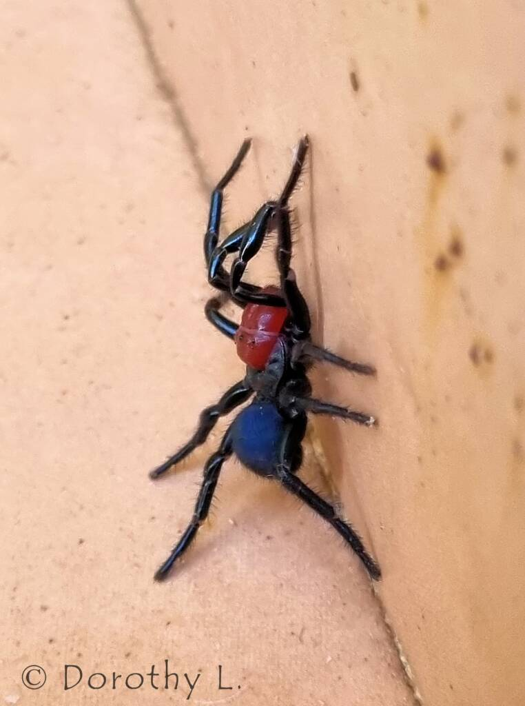 Red-headed Mouse Spider (Missulena occatoria), Alice Springs, NT