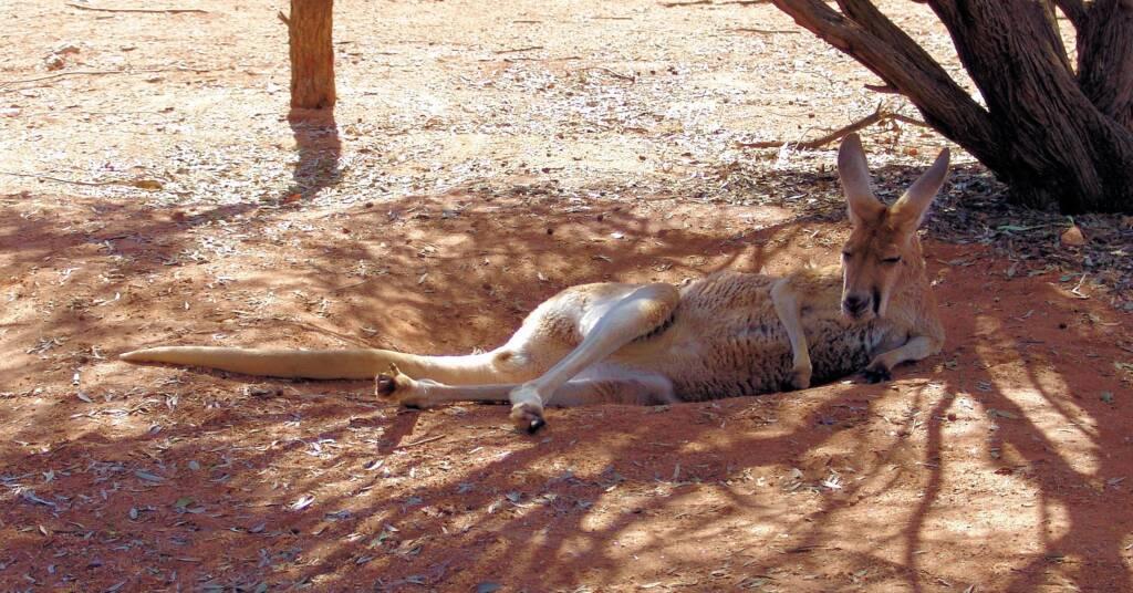 Red Kangaroo (Osphranter rufus)