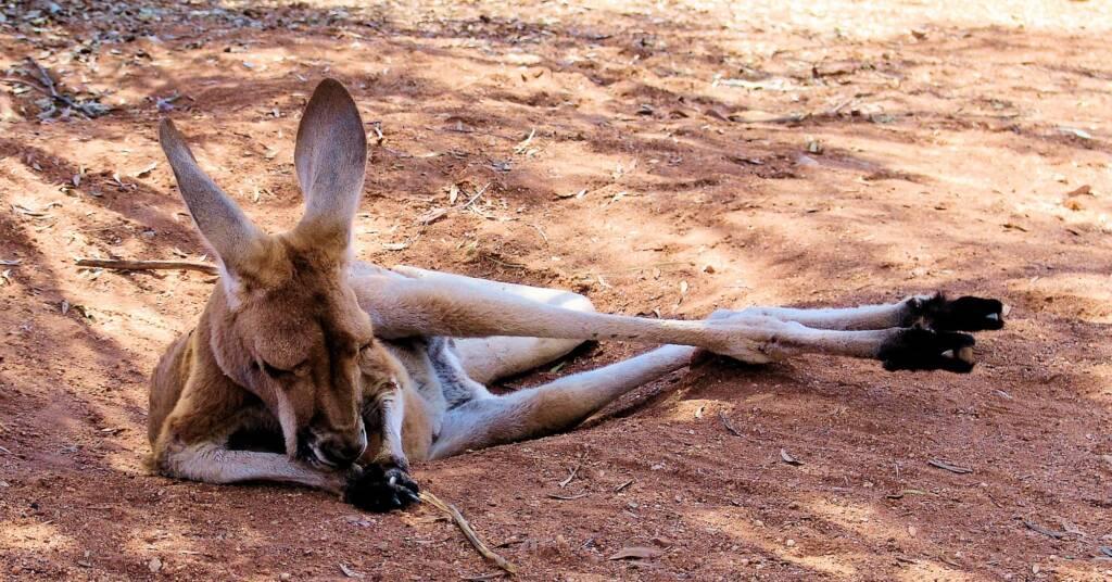 Red Kangaroos (Osphranter rufus), Alice Springs Desert Park