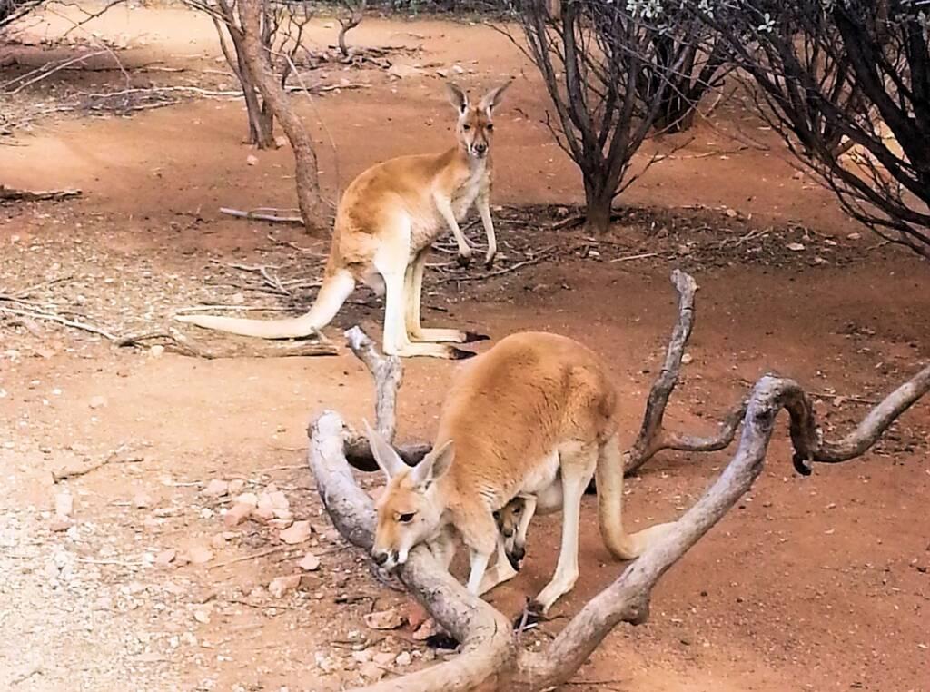 Red Kangaroos with joey (Osphranter rufus)