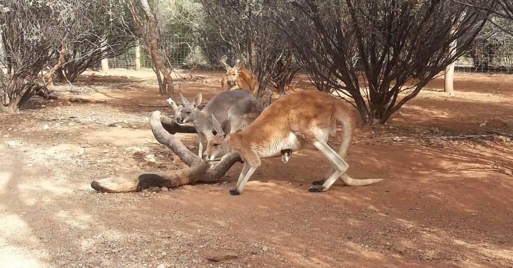 Red Kangaroos (Osphranter rufus)