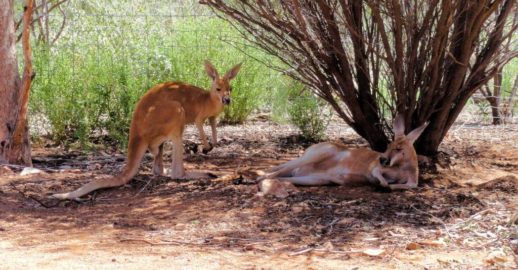 Red Kangaroos (Osphranter rufus)