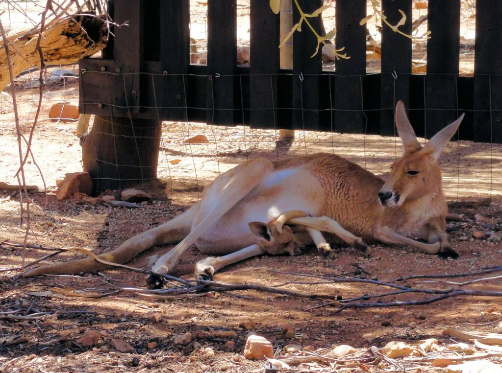 Red Kangaroo with joey in pouch (Osphranter rufus)