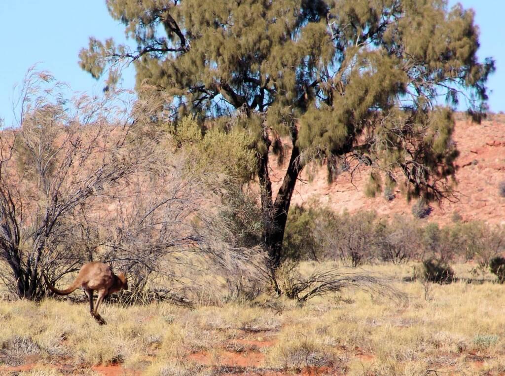 Red Kangaroo and Desert Oak, Wurre / Rainbow Valley, NT