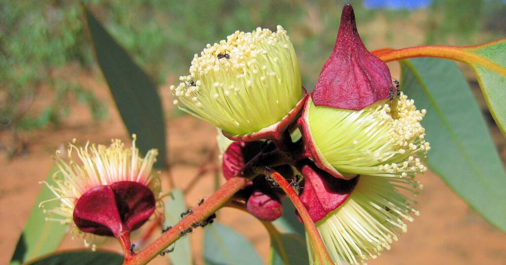 Red Mallee (Eucalyptus pachyphylla)