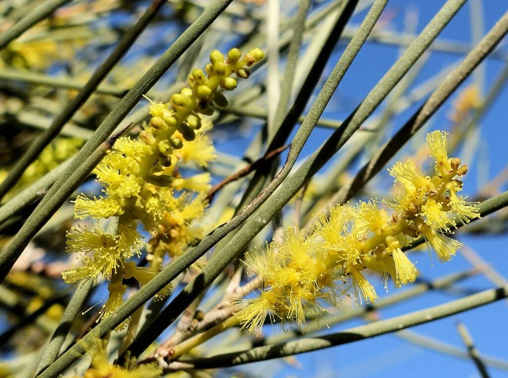 Red Mulga (Acacia cyperophylla), Alice Springs Desert Park