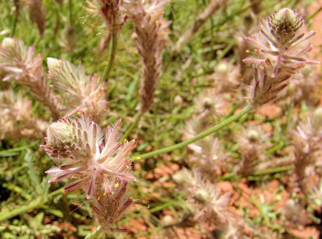 Red Pussytail (Ptilotus polystachyus), Owens Springs, NT