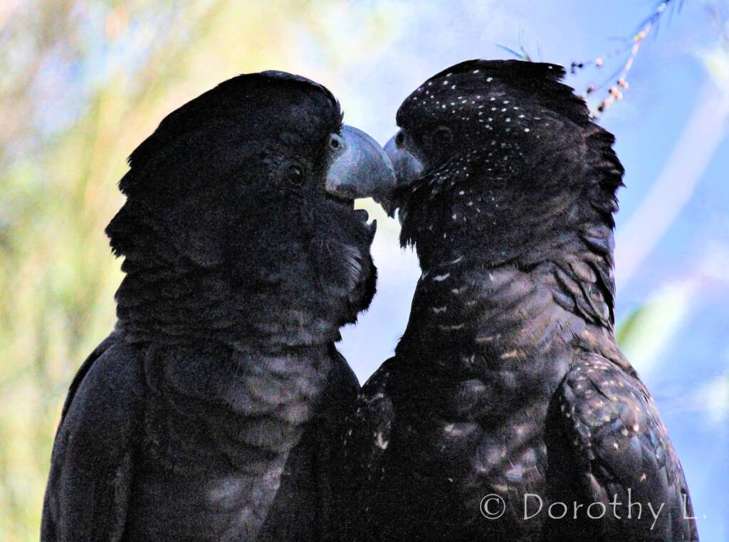 Pair of Red-tailed Black Cockatoos (Calyptorhynchus banksii)