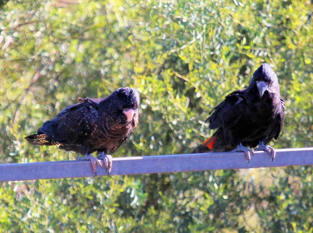 Pair of Red-tailed Black Cockatoos (Calyptorhynchus banksii)