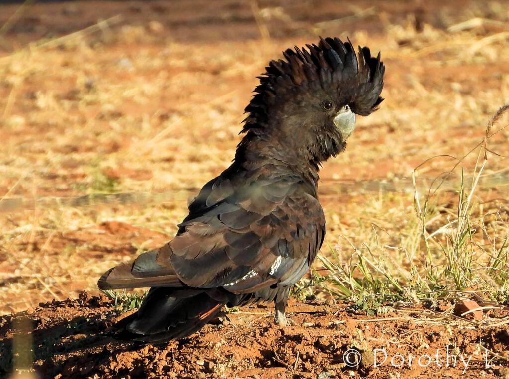 Red-tailed Black Cockatoos (Calyptorhynchus banksii)