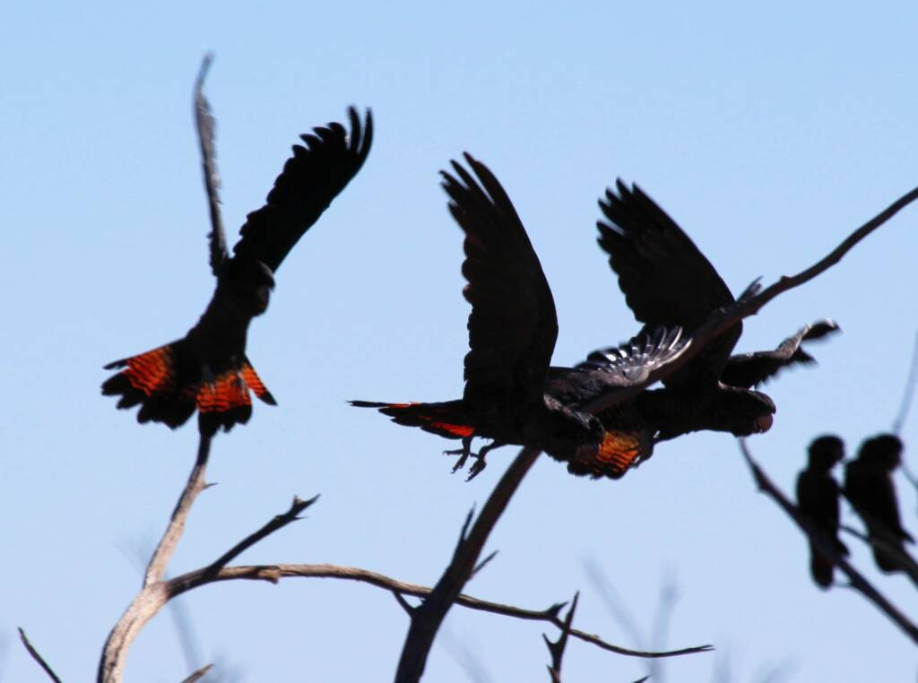 Red-tailed Black Cockatoo (Calyptorhynchus banksii)