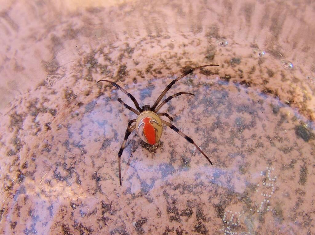 Redback Spider (Latrodectus hasselti), Alice Springs, NT