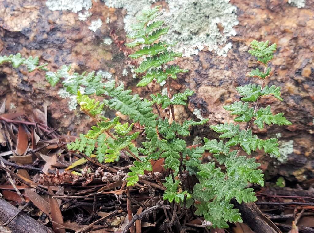 Resurrection Fern (Cheilanthes lasiophylla)
