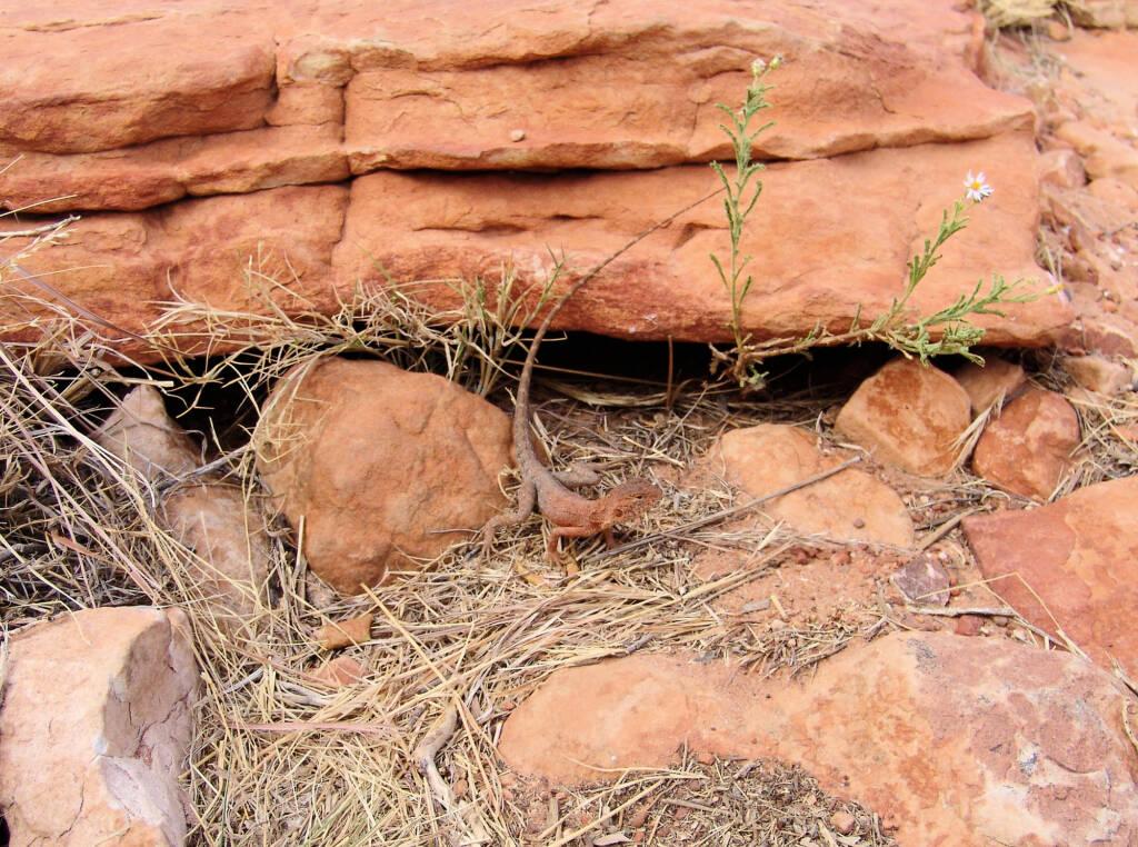 Ring-tailed Dragon (Ctenophorus caudicinctus slateri), Kings Canyon