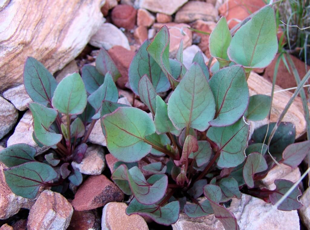 Rosy Dock (Rumex vesicarius), Central Australia