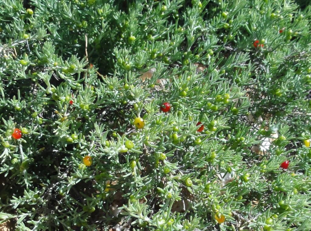 Ruby Saltbush (Enchylaena tomentosa)
