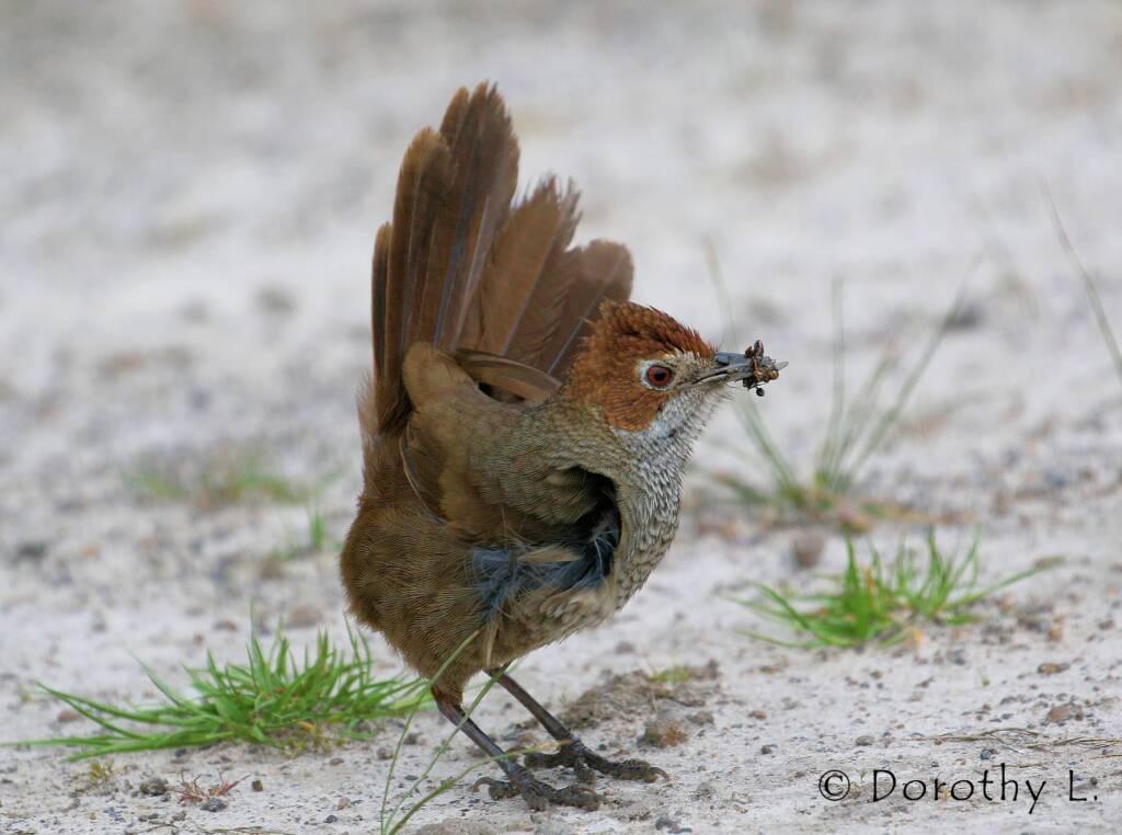 Rufous Bristlebird © Dorothy L