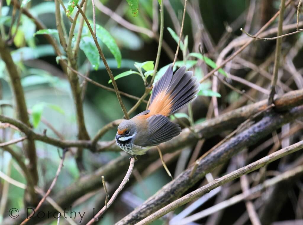 Rufous Fantail (Rhipidura rufifrons)