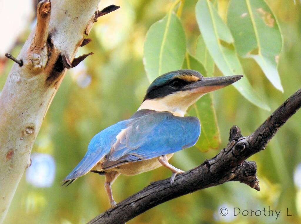 Sacred Kingfisher (Todiramphus sanctus) © Dorothy L