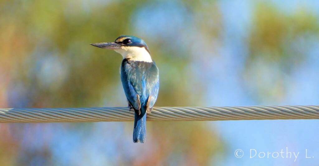 Sacred Kingfisher at Vatu Sanctuary, Alice Springs © Dorothy L