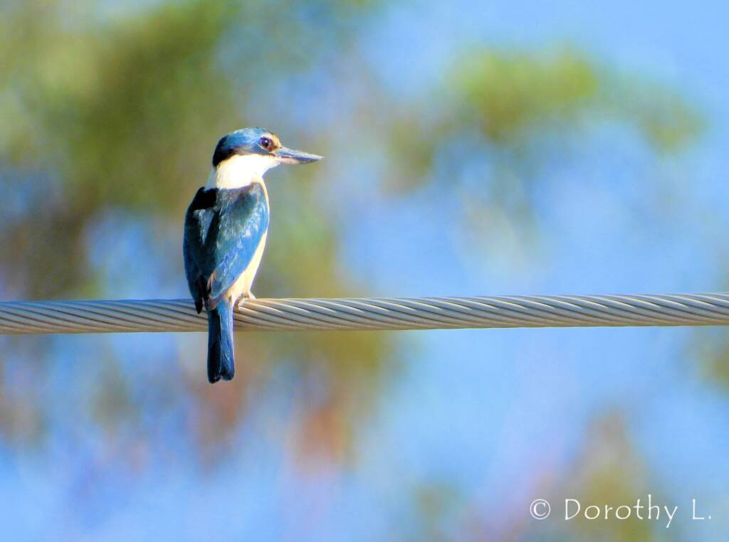 Sacred Kingfisher at Vatu Sanctuary, Alice Springs © Dorothy L