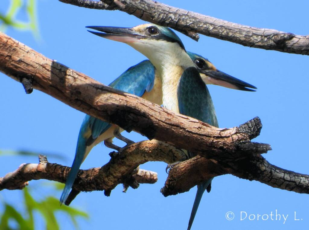 Sacred Kingfishers at Vatu Sanctuary, Alice Springs © Dorothy L