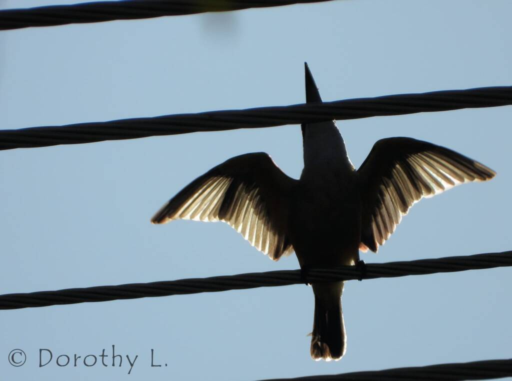 Silhouette of Sacred Kingfisher © Dorothy L