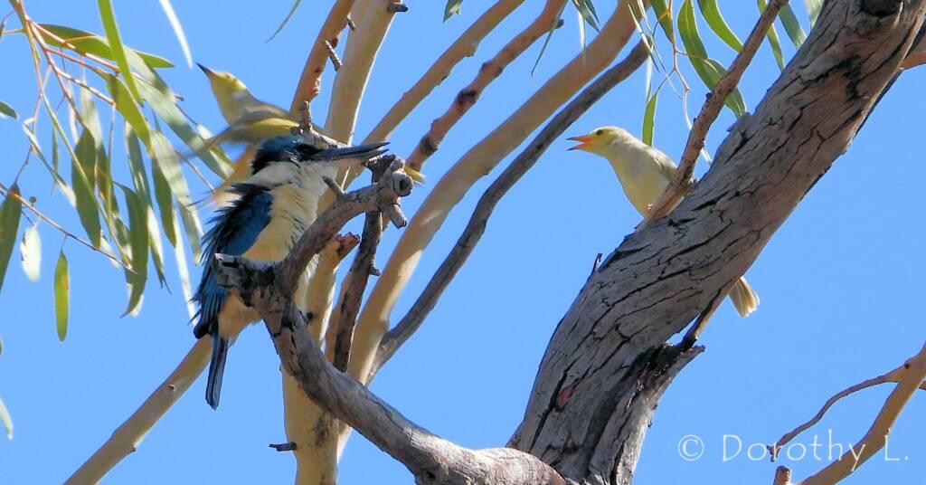 Sacred Kingfisher with White-plumed Honeyeater