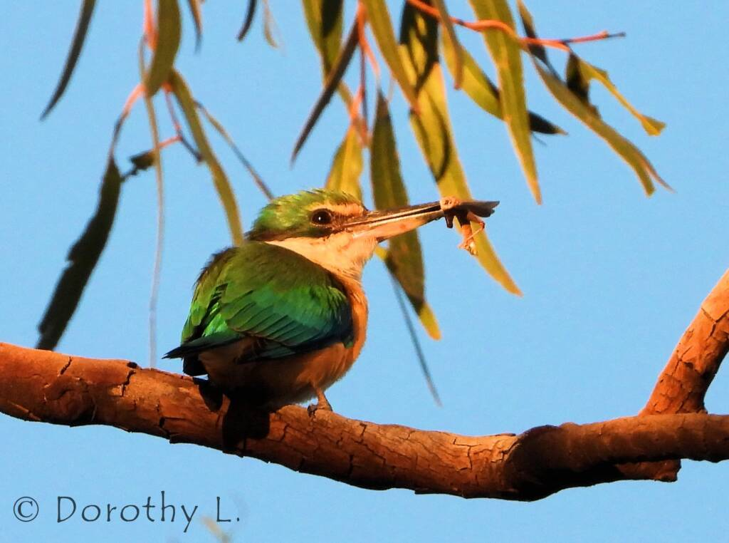 Sacred Kingfisher at sunrise, Alice Springs © Dorothy L
