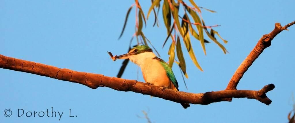 Sacred Kingfisher at sunrise, Alice Springs © Dorothy L