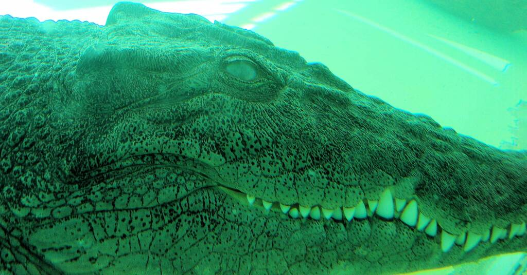 Australian Saltwater Crocodile (Crocodylus porosus), Alice Springs Reptile Centre