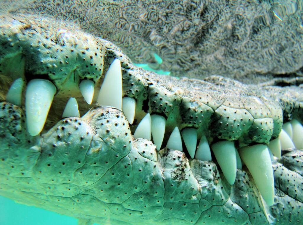 Australian Saltwater Crocodile (Crocodylus johnstoni)