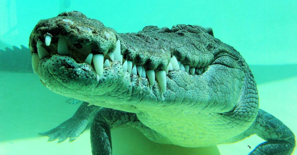 Australian Saltwater Crocodile (Crocodylus porosus)