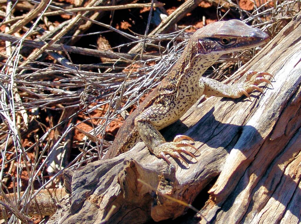 Sand Goanna (Varanus gouldii), Finke Gorge National Park