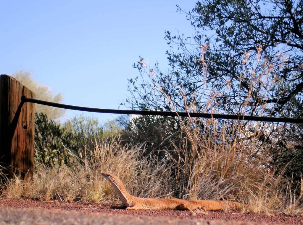 Sand Goanna (Varanus gouldii), Kata Tjuta (Uluru-Kata Tjuta National Park)