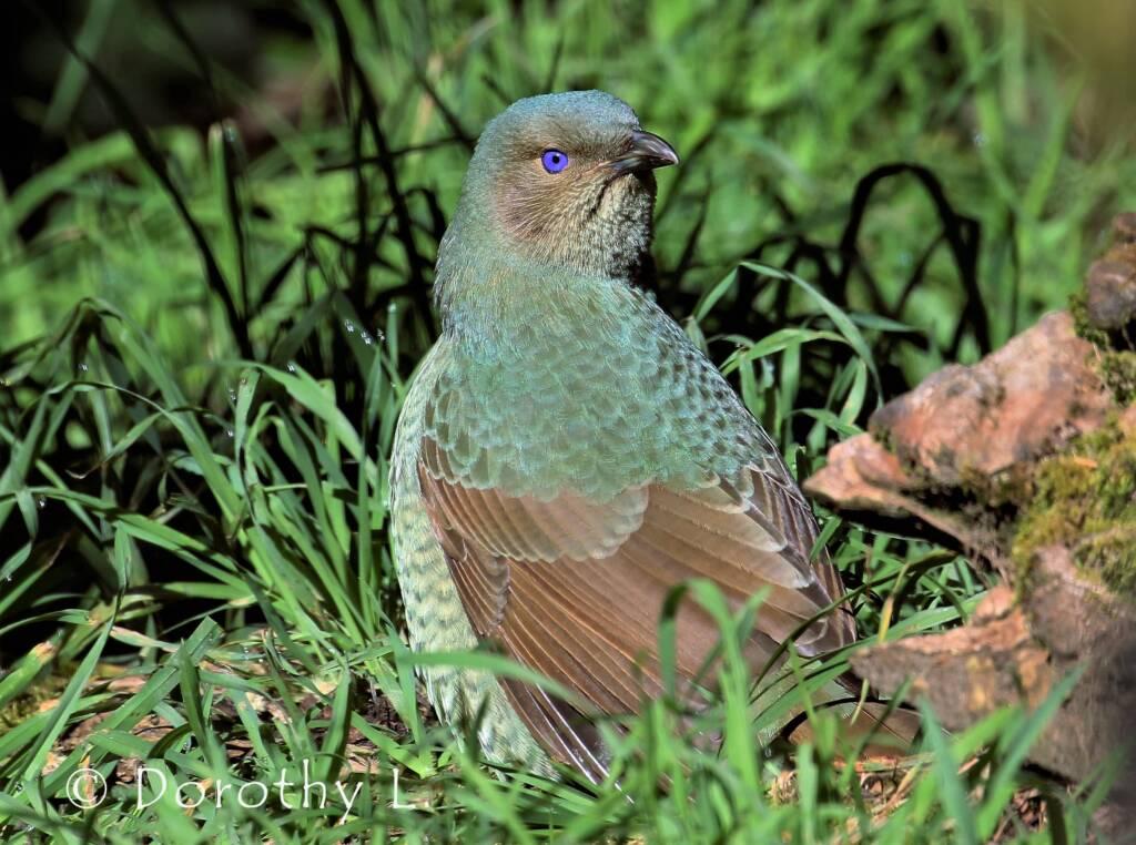 Satin Bowerbird (Ptilonorhynchus violaceus)
