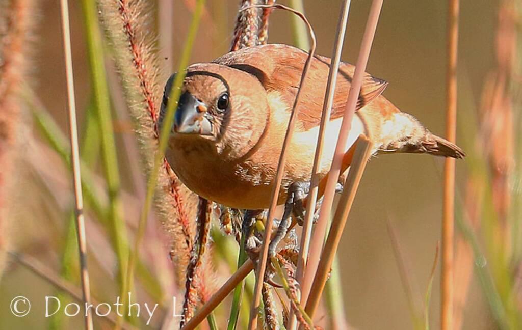 Scaly-breasted Munia (Lonchura punctulata)