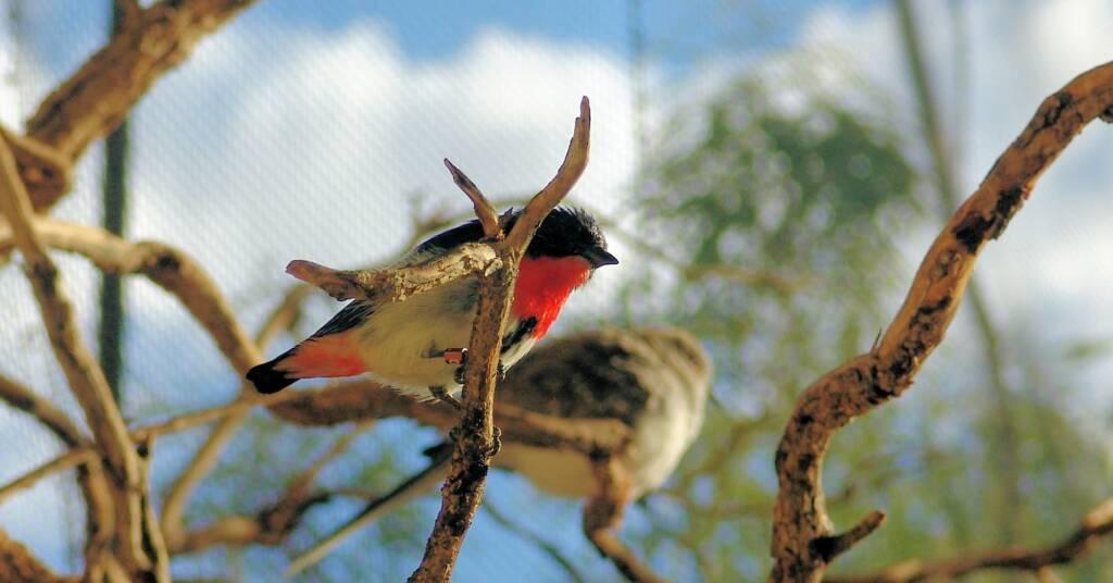 Red-capped Robin (Petroica goodenovii)Scarlet Robin (Petroica boodang), Alice Springs Desert Park
