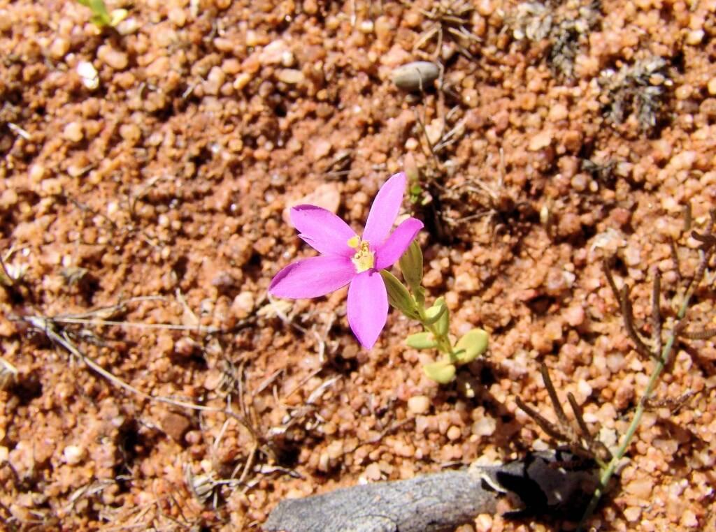 Spike Centaury (Schenkia australis), Ilparpa Claypans, Alice Springs