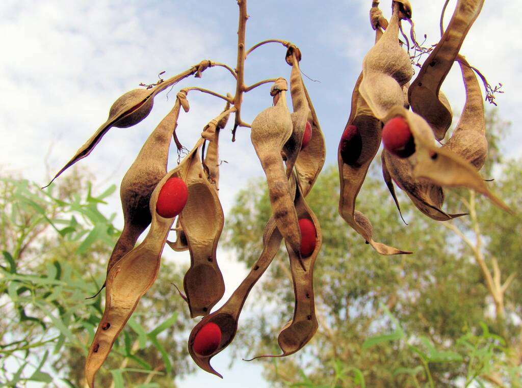 Seeds of the Sturt Bean Tree (Erythrina vespertilio), Olive Pink Botanic Garden.