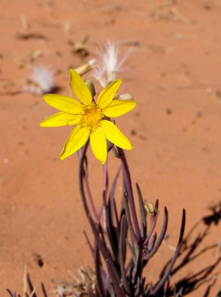 Annual Yellowtop (Senecio gregorii)