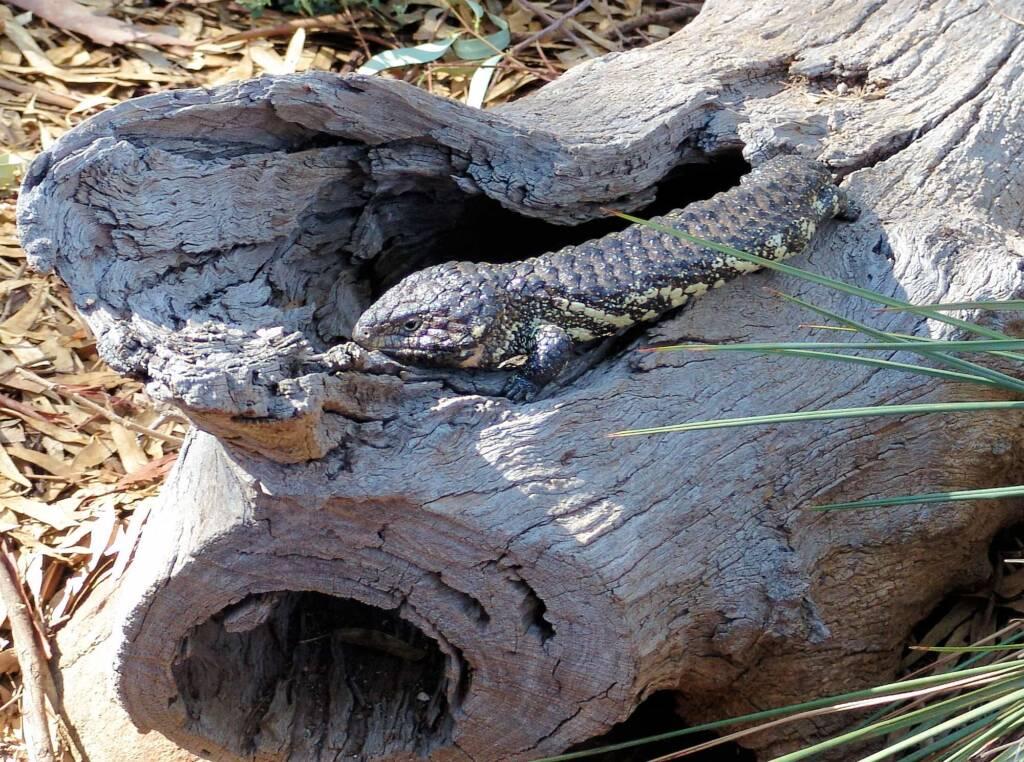 Shingleback Lizard, Kyabram Fauna Park, VIC