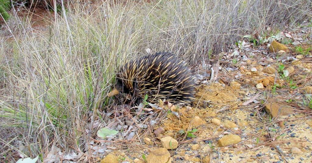 Short-beaked Echidna (Tachyglossus aculeatus), Coonabarabran, NSW