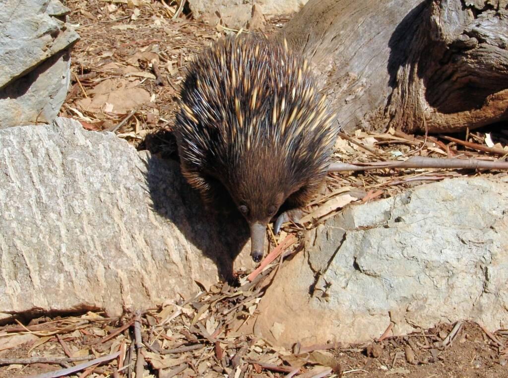 Short-beaked Echidna, Kyabram Fauna Park, VIC