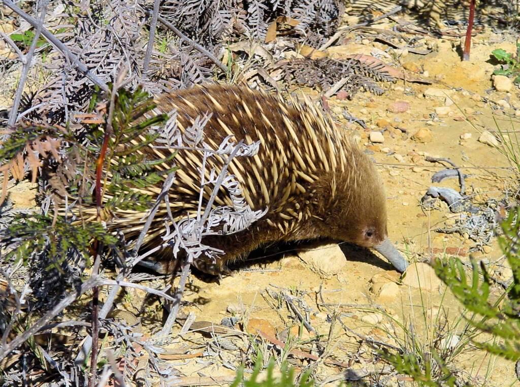 Short-beaked Echidna (Tachyglossus aculeatus), Coles Bay, Tasmania