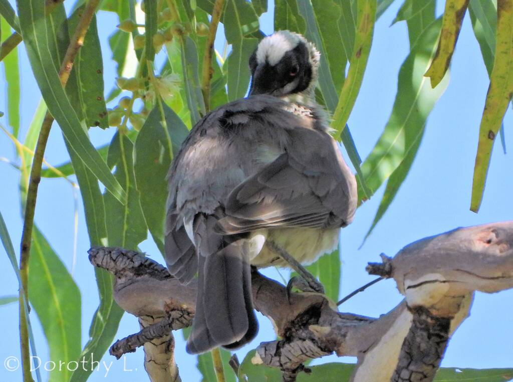 Silver-crowned Friarbird (Philemon argenticeps)
