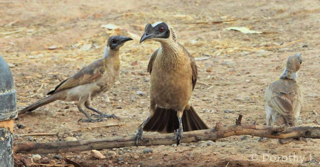 Silver-crowned Friarbird and Little Friarbird