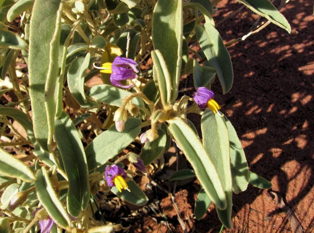 Bush Tomato (Solanum centrale) © Tony Bean, Senior Botanist, Queensland Herbarium, Brisbane